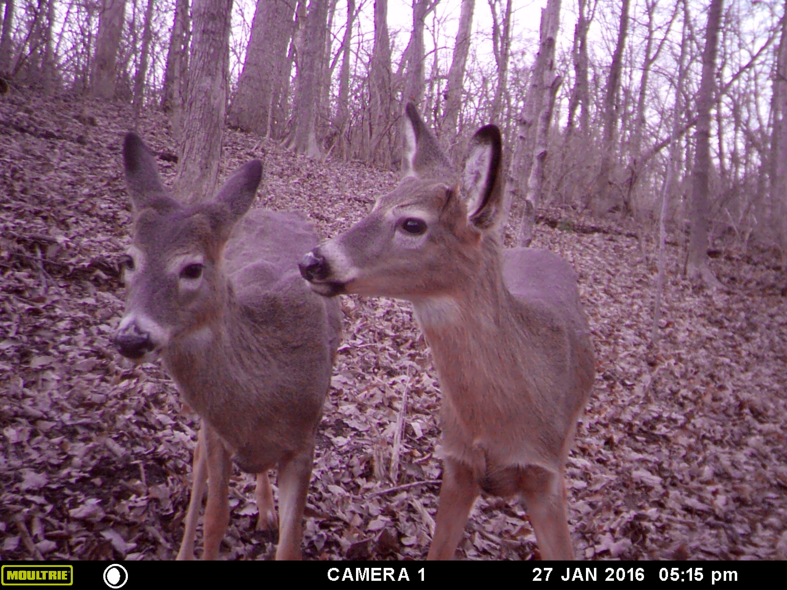 deer biology hunting advice and tips for serious deer and turkey
