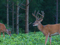 How to Get Better Deer and Turkey Hunting In the Pines