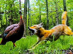 Four and Two Legged Turkey Predators and the Tactics They Use!