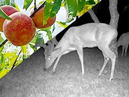 Scouting Tips: Where Will the Deer Be in the Early Season?